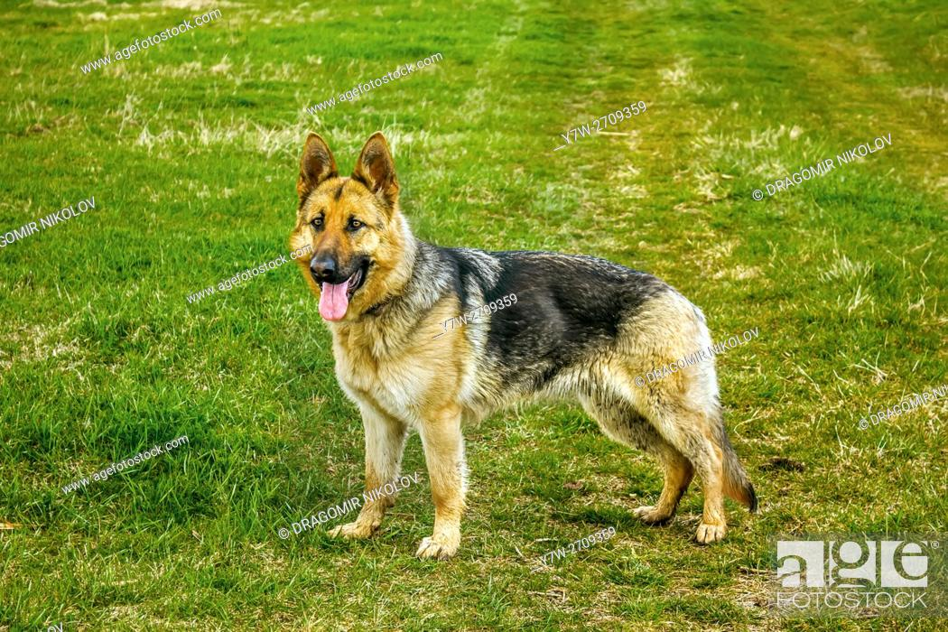 Stock Photo: German shepherd dog. The dog is running in a green field in Bulgaria.
