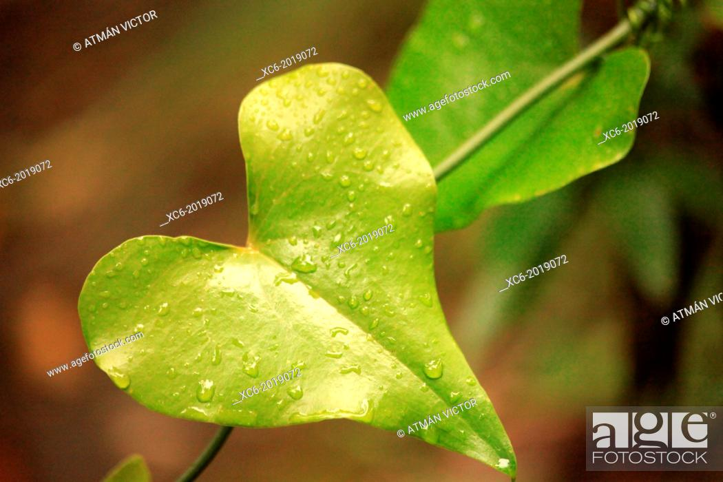 Stock Photo: heart-shaped leaf in Anaga forests . Santa Cruz de Tenerife . spain.