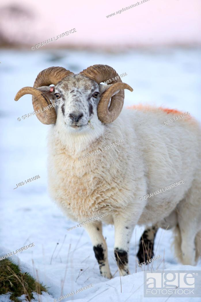 Stock Photo: A Ram in snow in Powys, Wales, UK.