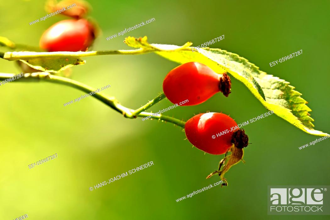 Stock Photo: rose hip on a green, empty background.