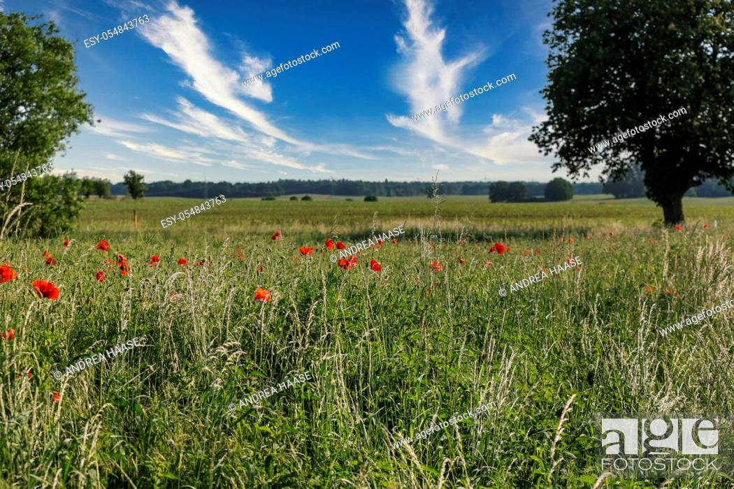 Stock Photo: poppy flower field in a rural landscape in northern Germany, perfect for a greeting card, gift bag or calendar image.