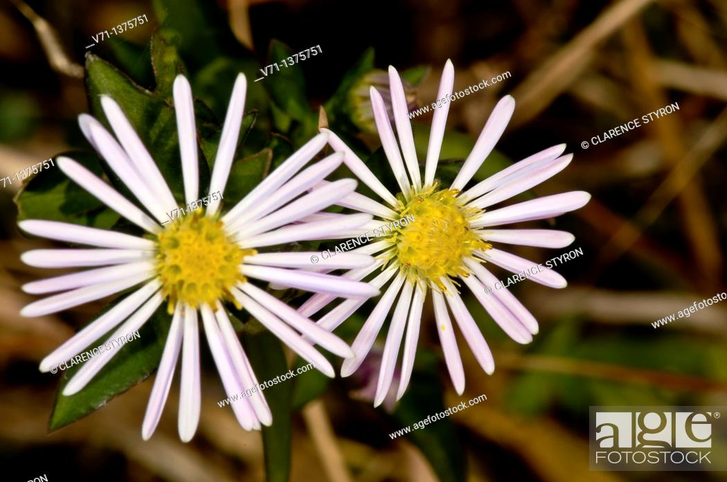 Stock Photo: Aster dumosus, Outer banks center for wildlife education, Corolla, Norh Carolina, USA.