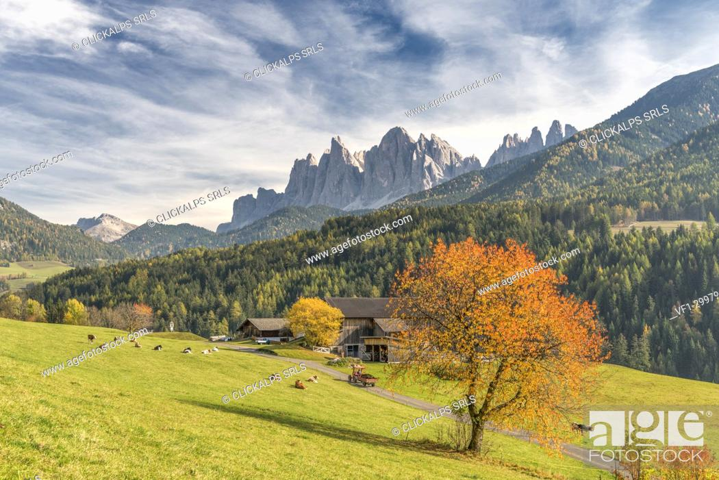Stock Photo: Funes Valley, Dolomites, province of Bolzano, South Tyrol, Italy. Autumn colors in the Funes Valley with the Odle peaks in the background.