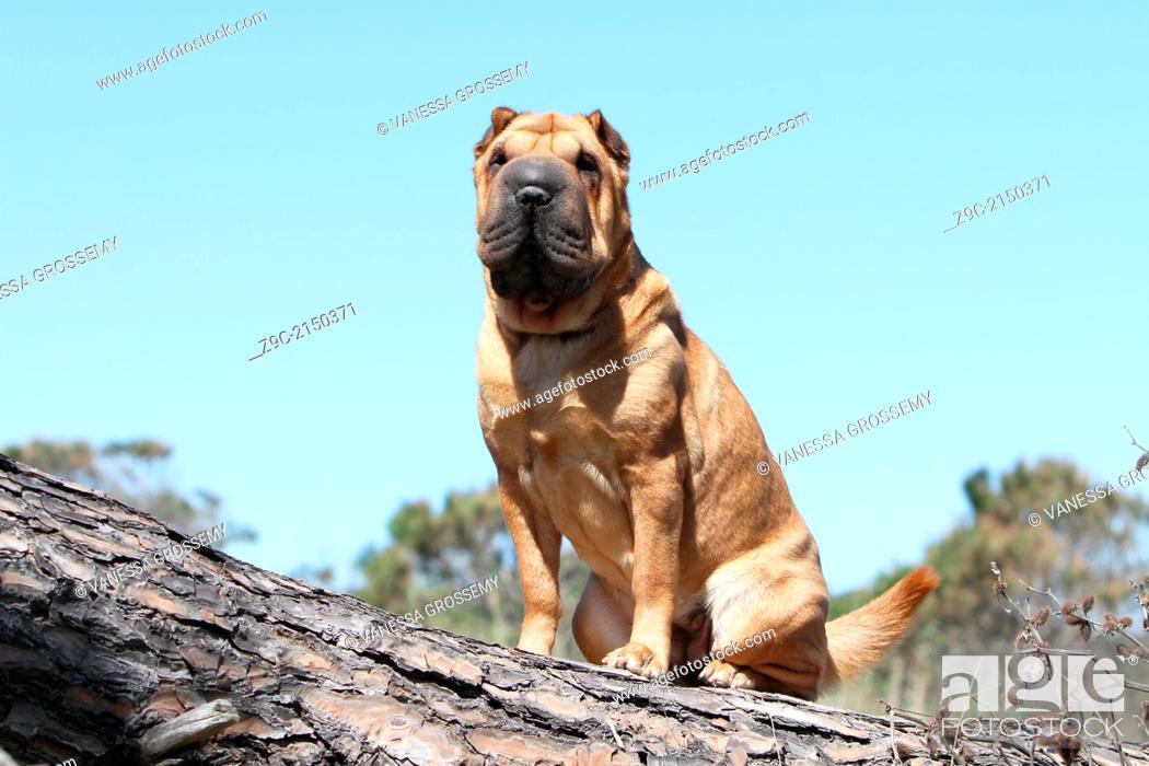 Stock Photo - Dog Shar Pei / adult sitting on a tree trunk.