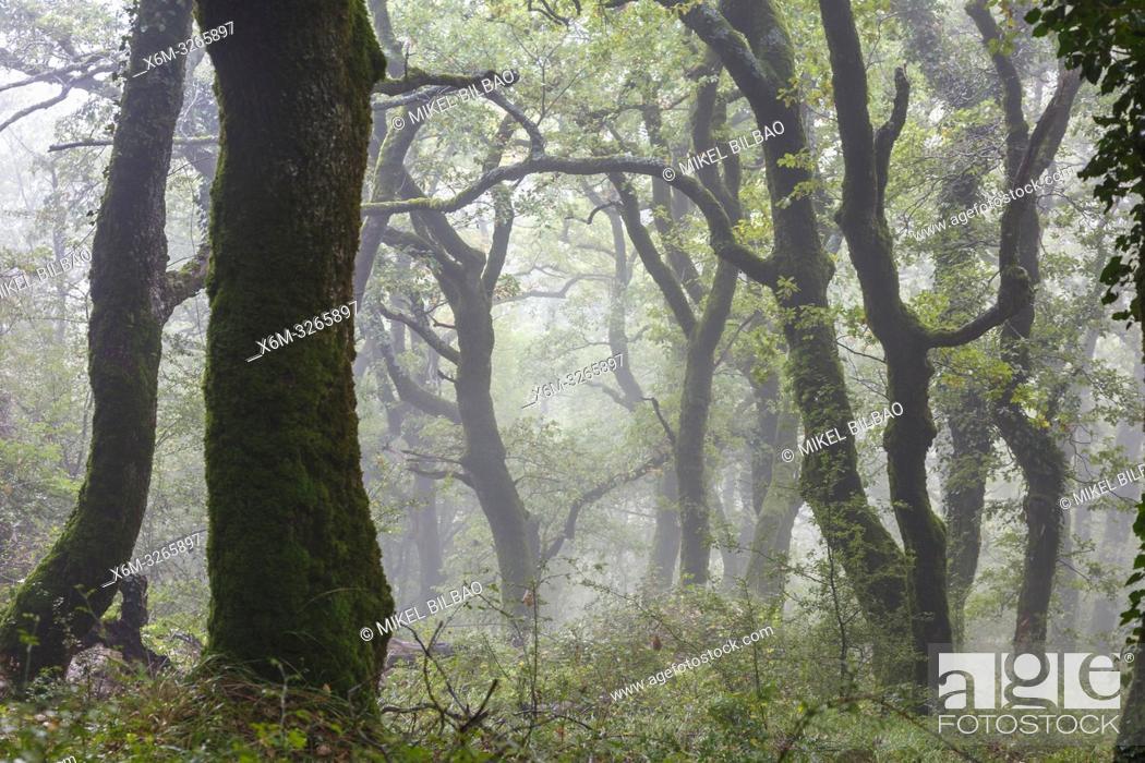 Imagen: Oakwood in the mist. Aralar mountain range. Navarre, Spain, Europe.