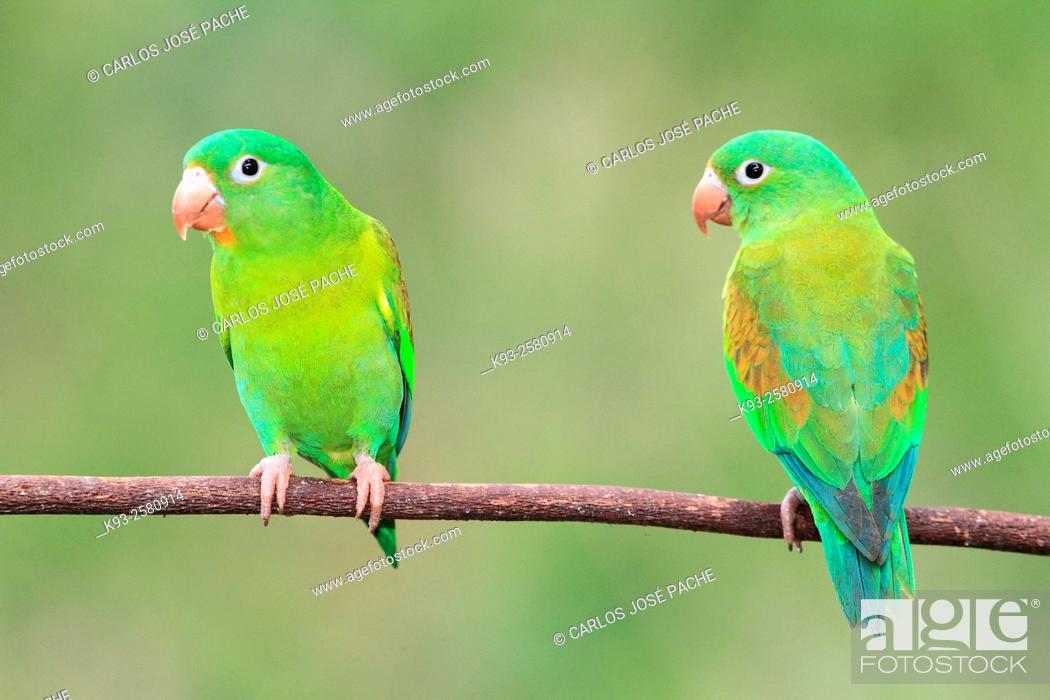 Imagen: Brotogeris jugularis (Orange-chinned parakeet). Península de Nicoya, Costa Rica.