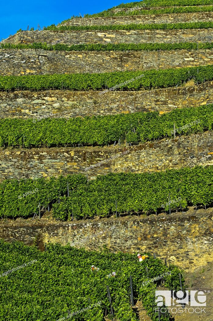 Photo de stock: Terraced vineyard on dry stone walls on a steep slope, vineyard Hell Valley, Vale do Inferno, Quinta de la Rosa Winery, Pinhao, Douro Valley, Portugal.