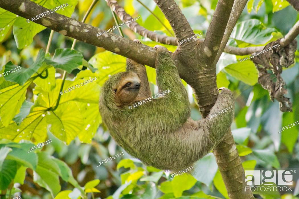 Stock Photo: Pale-throated Sloth, Bradypus tridactylus, Three-toed Sloth, Tropical Rainforest, Marino Ballena National Park, Uvita de Osa, Puntarenas, Costa Rica.