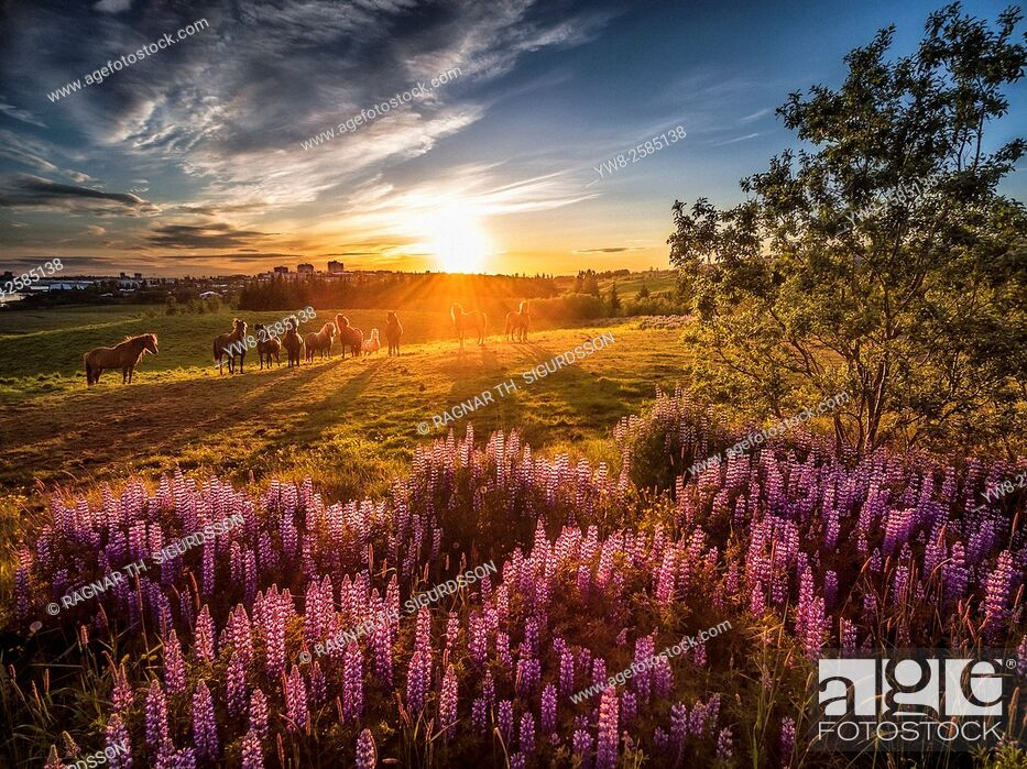Imagen: Midnight sun, lupines wildflowers and horses, Reykjavik, Iceland. Image shot with a drone.