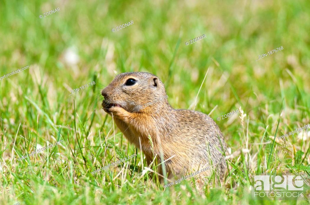 Stock Photo: Europäisches Ziesel Spermophilus citellus - European ground squirrel.