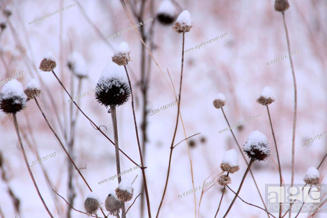 Stock Photo: coneflowers, aka echinacea, in winter, brown, with snow on them.