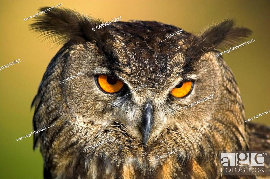 Stock Photo: Portrait of Eagle Owl (Bubo bubo).