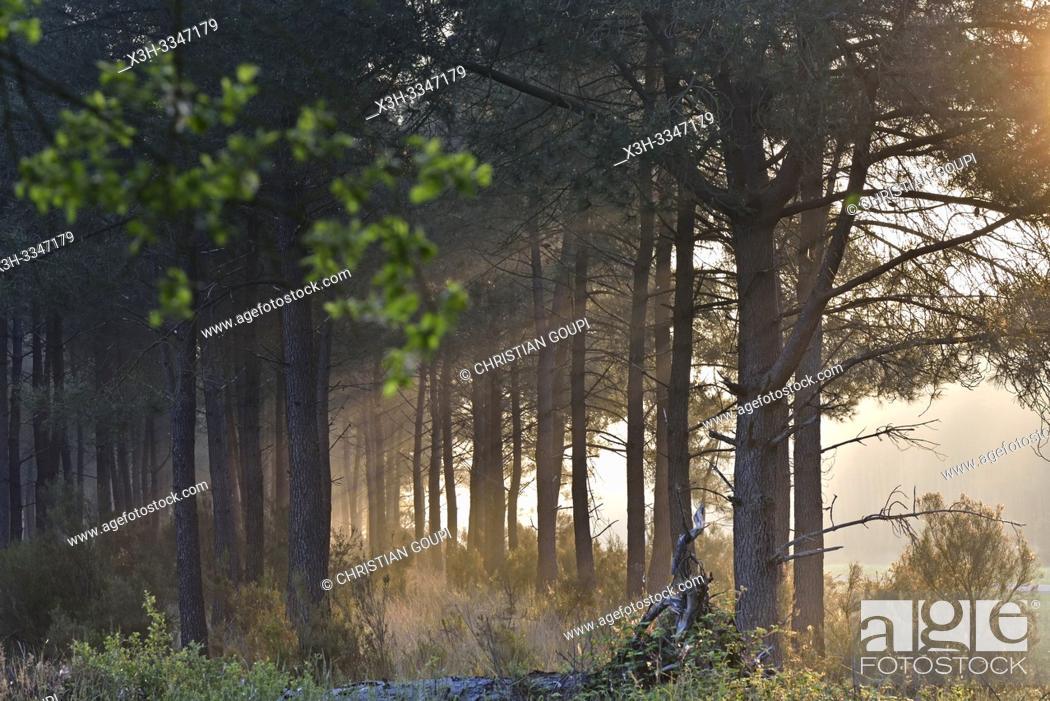 Stock Photo: brume matinale dans une pinede du Parc naturel regional Loire Anjou Touraine, environs de Langeais, departement Indre-et-Loire, region Centre-Val de Loire.