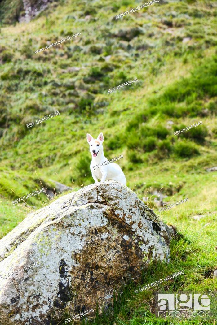 Stock Photo: Jack Russell hunting for marmots in their burrows in the Italian Dolomites.