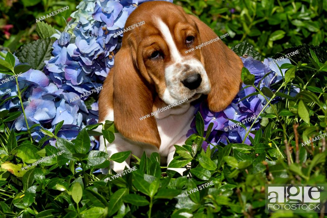 Basset Hound Pup In Flowers Burlington Wisconsin Usa Bk Aa