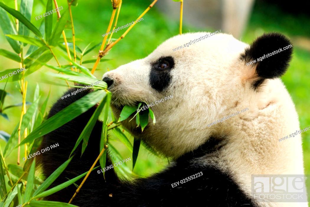 Stock Photo: Panda bear eating bamboo.