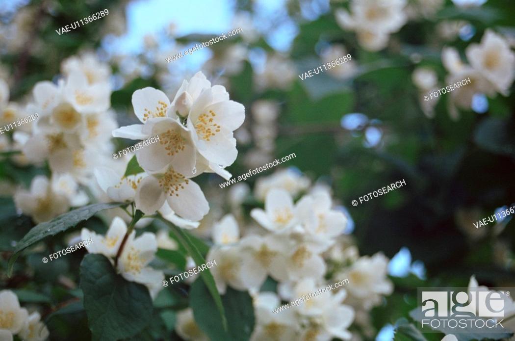 Stock Photo: jasminium, plant, blossom, blossoming, fragrance, fragrant, botany.