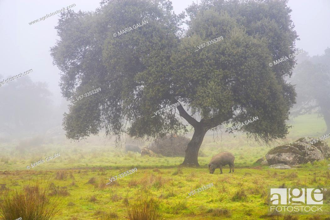 Imagen: Meadow and Iberian pigs in the mist. Valle de los Pedroches, Cordoba province, Andalucia, Spain.