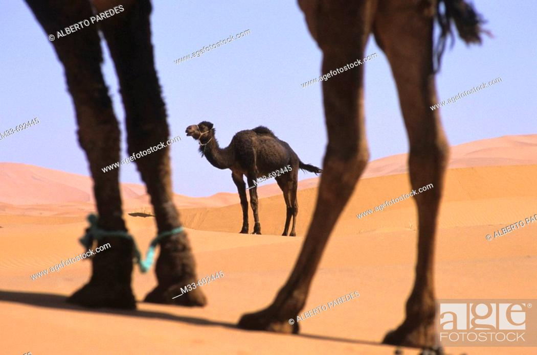 Stock Photo: Camels in the desert, Morocco.