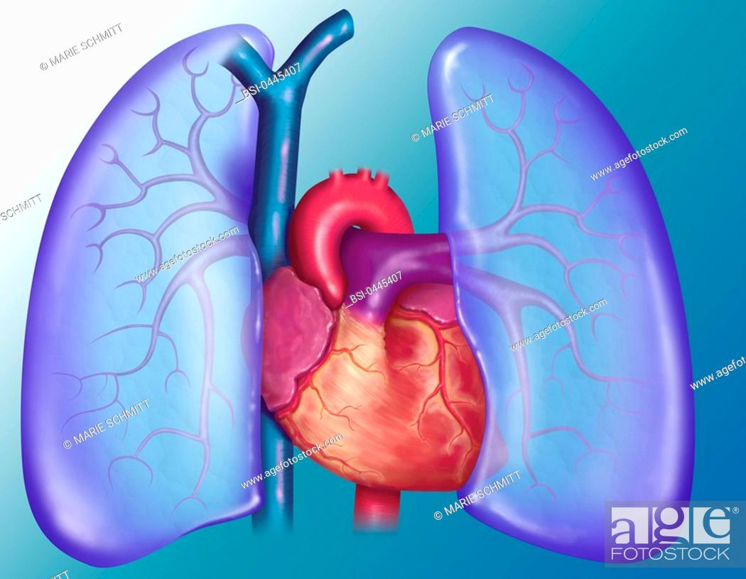 Anatomy of the heart and lungs outspread to let the heart visible ...