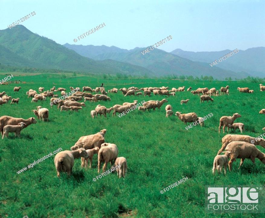 Stock Photo: farming, mountain, field, lamb, sky, outdoors, nature.