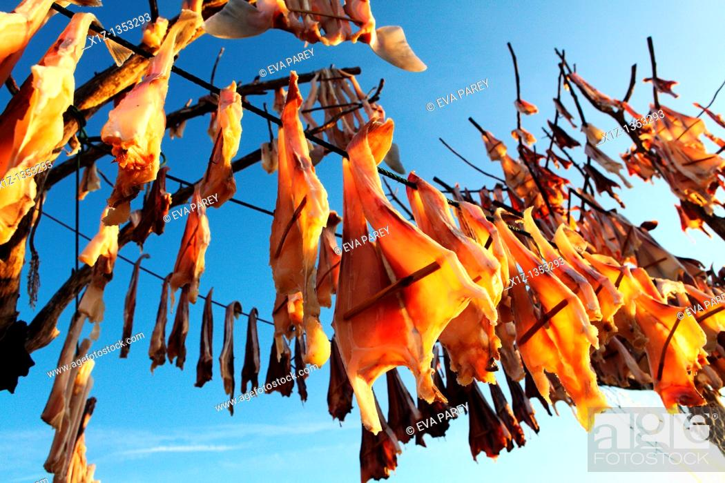 Stock Photo: Fish hanged to dry at sun in a tree called Sabina in the island of Formentera Spain  The dried fish Peix Sec is a typical recipe of the Balearic gastronomy.