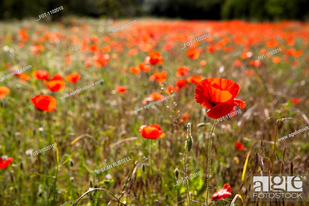 Stock Photo: A field of poppy flowers.