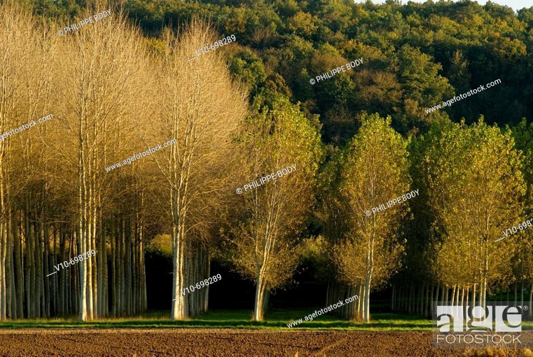 Stock Photo: Poplar trees, Indre et Loire, France.