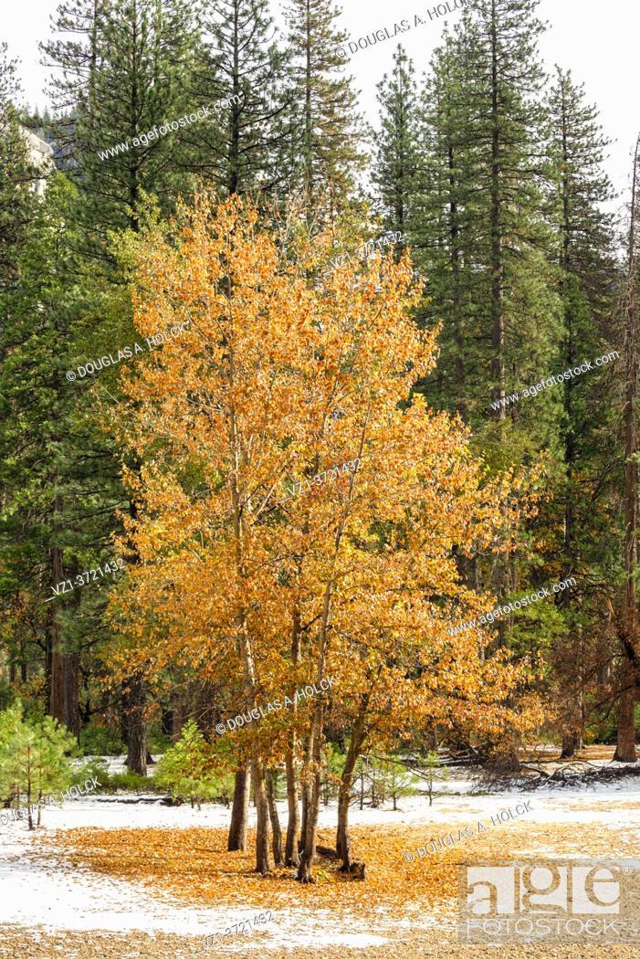 Imagen: Fall Trees Yosemite National Park CA USA World Location.
