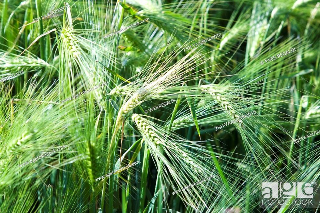Stock Photo: Unripe wheat growing in field, close-up.