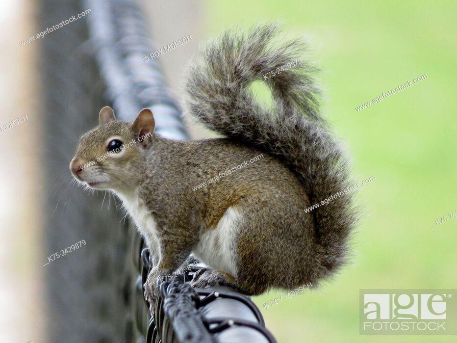 Stock Photo: Eastern gray squirrel, sciurus carolinensis.