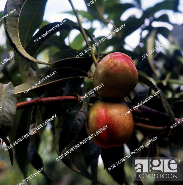 Stock Photo: Nectarine (Prunus persica var May Grand), Rosaceae.