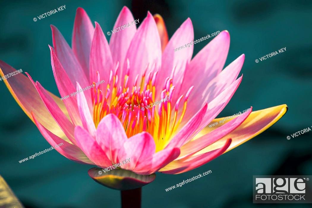 """Stock Photo: Close to a water lily """"""""Nymphaea alba""""""""""""""""""""."""