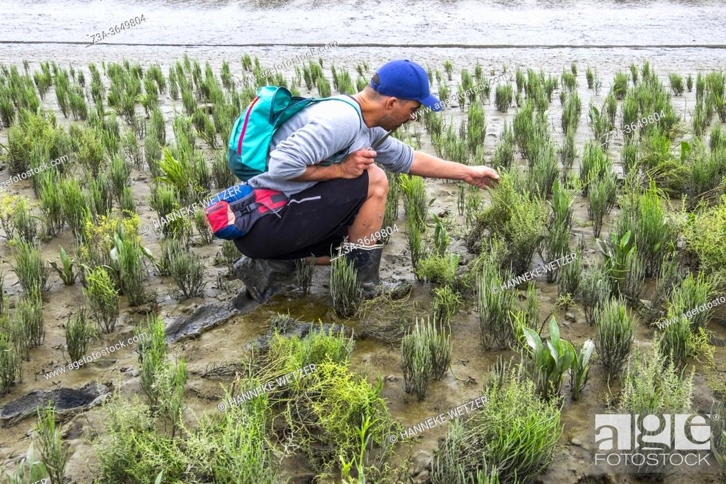 Stock Photo: Man collecting Samphire and Sea Lavender in the official nature reserve area and swamp 'The Drowned Land of Saeftinghe' in the southwest Netherlands.