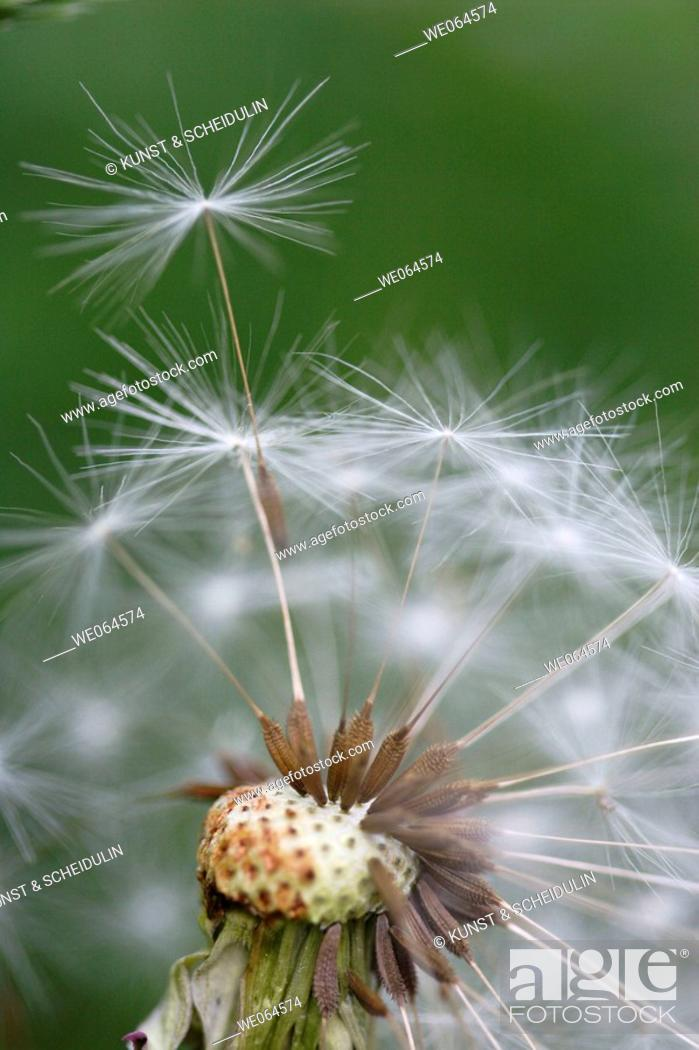 Stock Photo: Dandelion-seed (Taraxacum officinale). Höga Kusten, coast of Baltic Sea, Västernorrlands län, Sweden, Scandinavia, Europe.