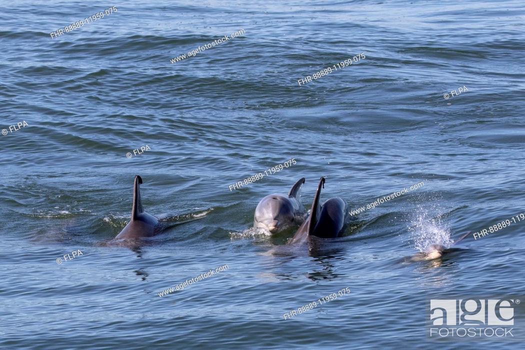 Stock Photo: Atlantic Bottlenose Dolphins - Cape May East Coast USA.