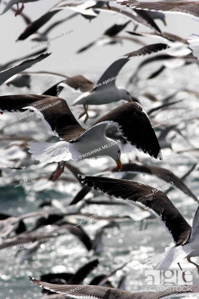 Stock Photo: A flock of black-backed gulls following behind a fishing trawler.