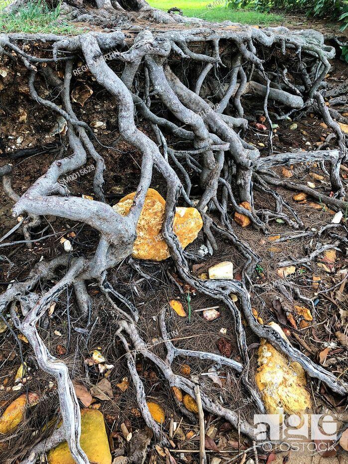Imagen: Tree roots.