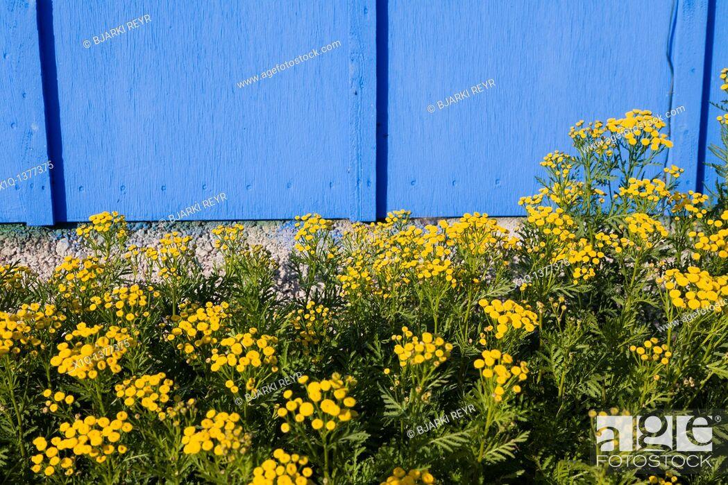 Photo de stock: Flowers at Inneruulalik Farm, South Greenland.