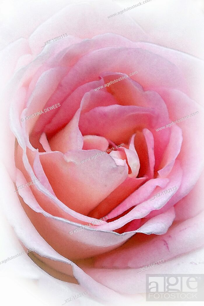 Stock Photo: The center of a pink Rose with effects.