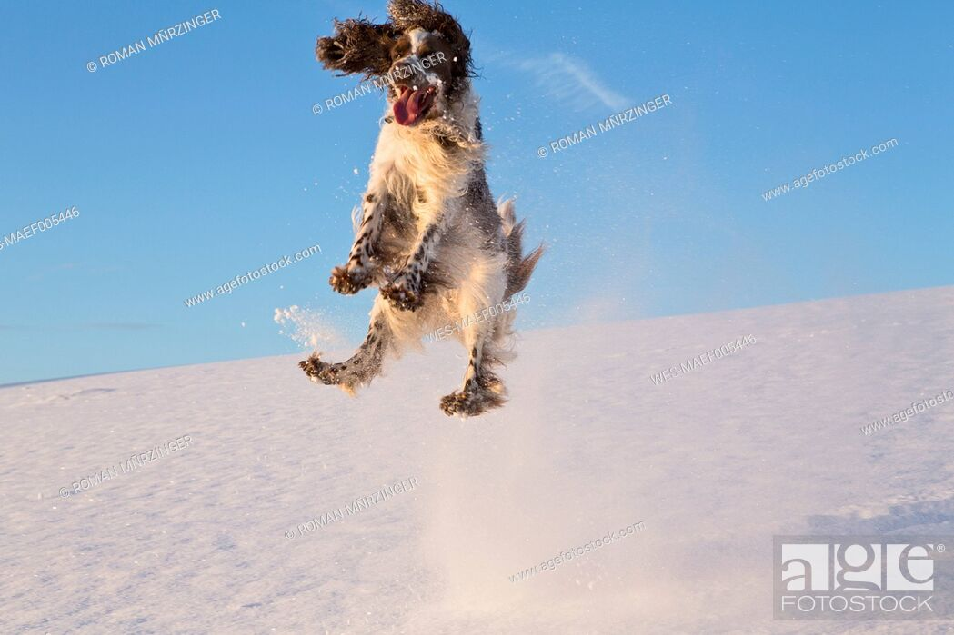 Stock Photo: Germany, Bavaria, English Springer Spaniel playing in snow.