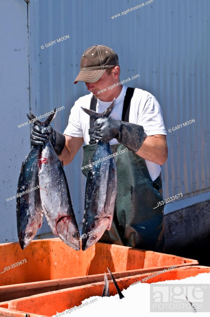 Stock Photo: Worker at fish processing plant packing frozen tuna into tote with ice immediately after they are unloaded from fishing boat, Charleston, Oregon USA.