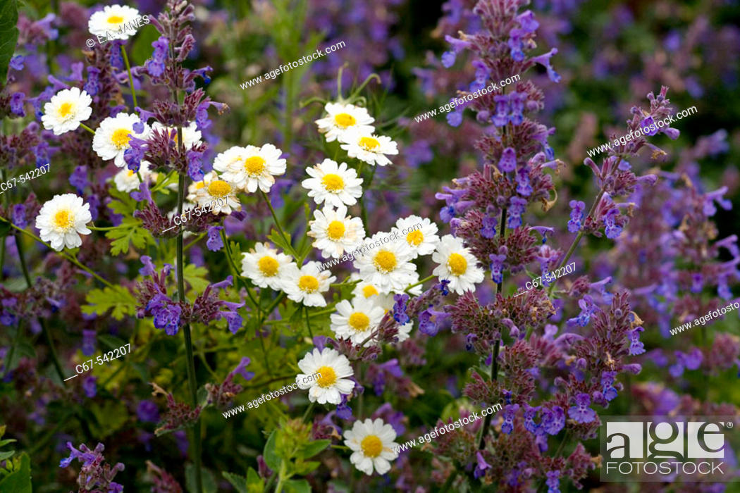 Stock Photo: Feverfew and Catmint in herb garden.