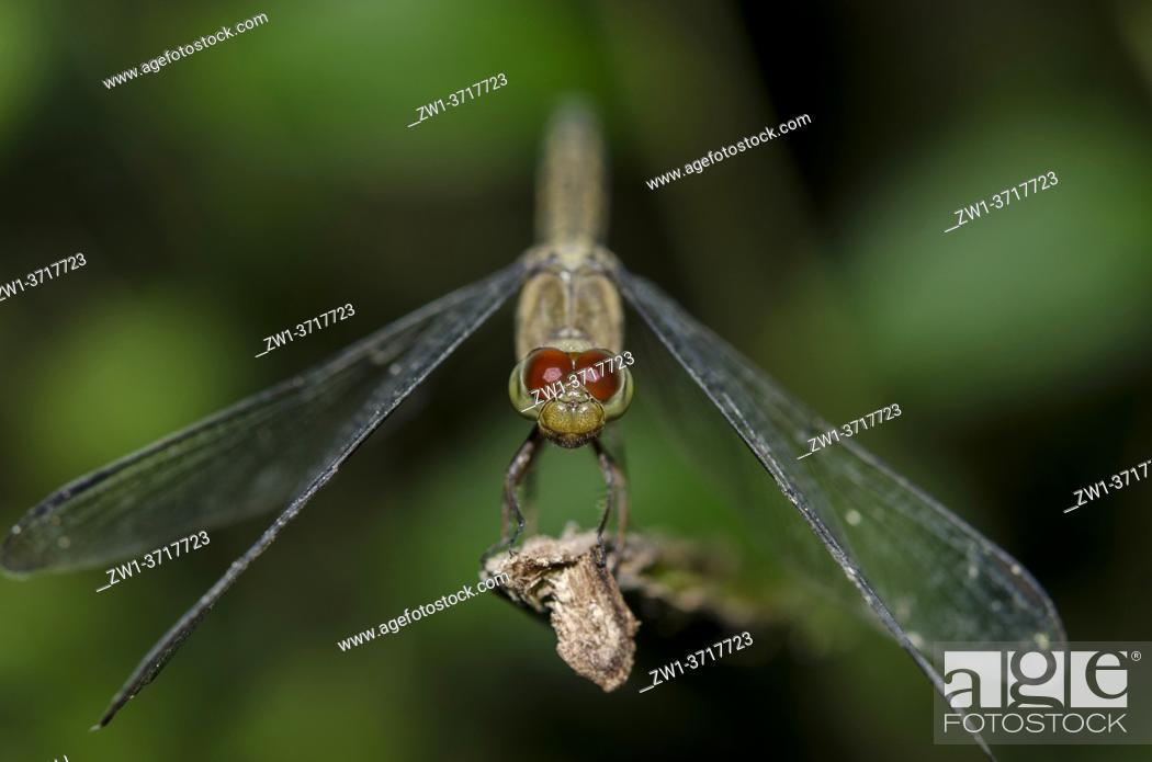 Stock Photo: Dragonfly (Libellulidae Family), Klungkung, Bali, Indonesia.