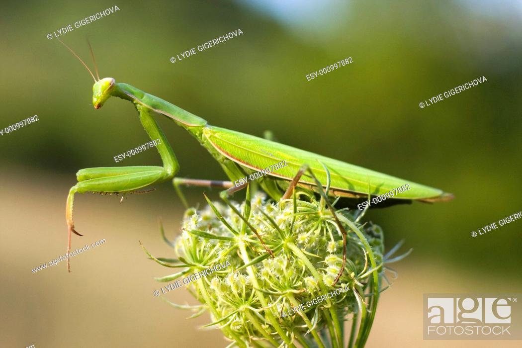 Stock Photo: Religious Mantis, European mantid Mantis religiosa, Gryllus religiosa on flower of Carrot Daucus carota, Daucus communis, Daucus gingidium.