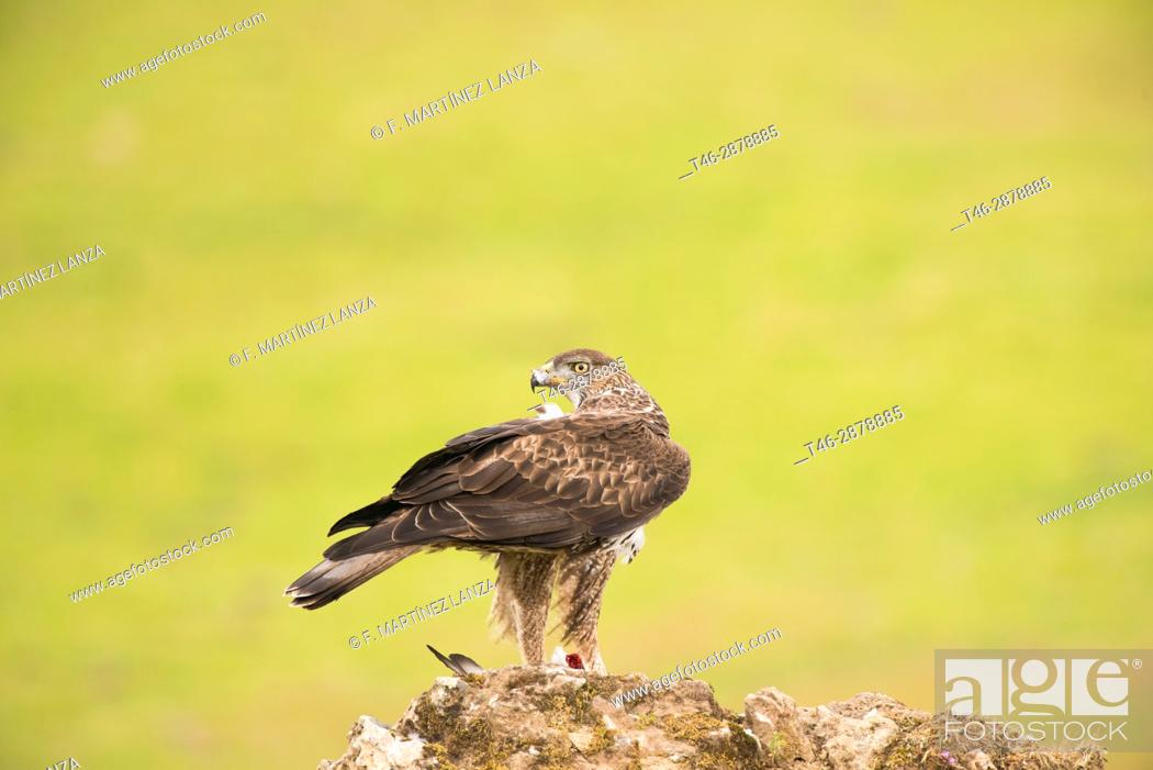 Stock Photo: Bonelli&39, s eagle-ostrich or Bonelli&39, s eagle (Aquila fasciata). Photographed at Adamuz in Sierra Morena Andalucia.