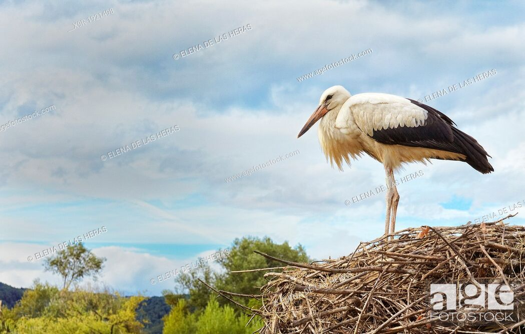 Stock Photo: Stork at nest  Stork and Otter protection centre  Hunawihr  Haut-Rhin  Alsace  France.