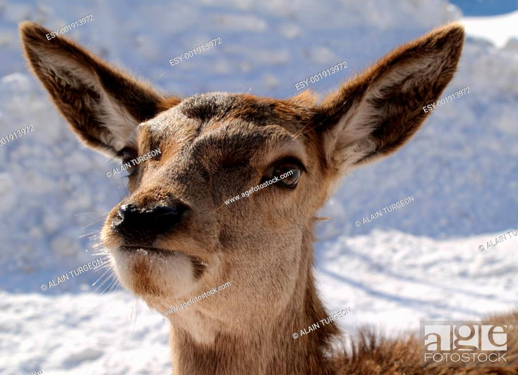 Stock Photo: White-tailed deer.