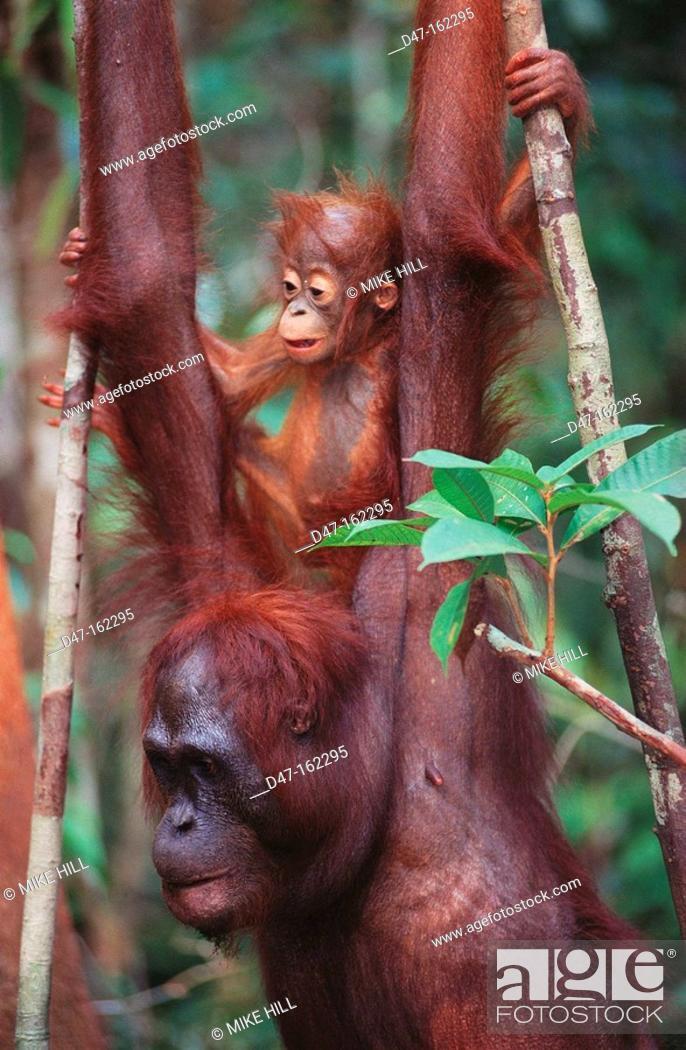 Stock Photo: Bornean Orangutan (Pongo pygmaeus) with young on back. Borneo.