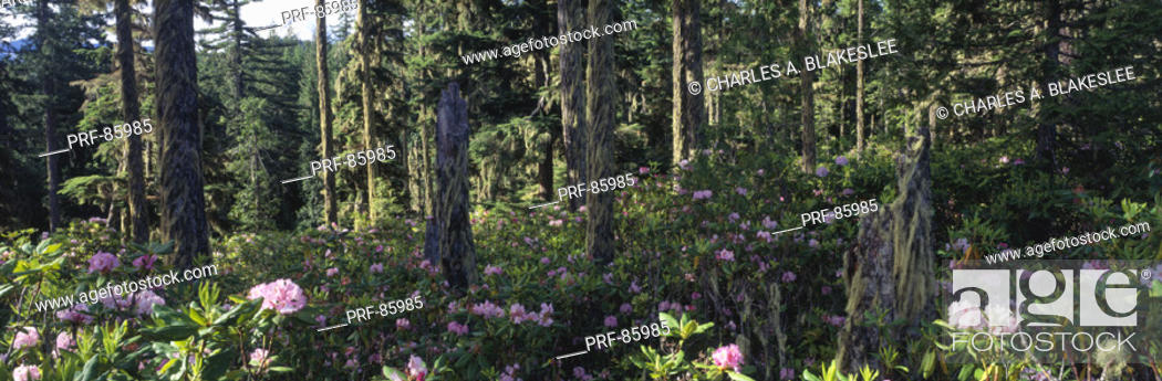 Stock Photo: Wild Rhododendrons Mount Hood National Forest OR.